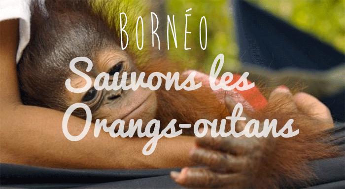 sepilok orangs outans