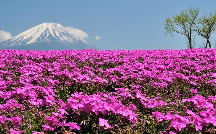 shibazakura-flower